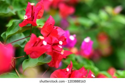 blooming bougainvillea.Red bougainvillea flowers.