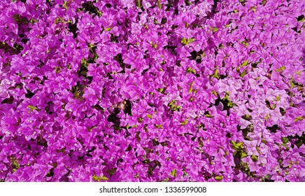 Blooming bougainvillea flowers as a background.