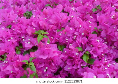 Blooming bougainvillea flowers background. Bright pink magenta bougainvillea flowers as a floral background. Bougainvillea flowers texture and background. Close-up view Bougainvillea tree with flowers