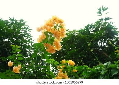 Blooming bougainvillea flowers background. Bright orange magenta bougainvillea flowers as a floral background. Bougainvillea flowers texture and background. Close-up view Bougainvillea tree with flowe