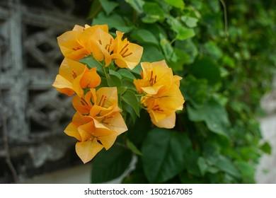 Blooming bougainvillea flowers background. Bright orange magenta bougainvillea flowers as a floral background. Bougainvillea flowers texture and background. Close up view Bougainvillea tree with flowe