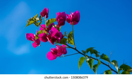 Blooming bougainvillea flowers background. Bright pink magenta bougainvillea flowers . Bougainvillea flowers texture and background. Close-up view Bougainvillea tree with flowers