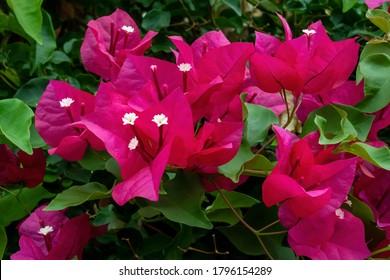 Blooming bougainvillea flowers background. Bright pink magenta bougainvillea flowers as a floral background. Bougainvillea flowers texture and background. Close-up view Bougainvillea tree with flowers