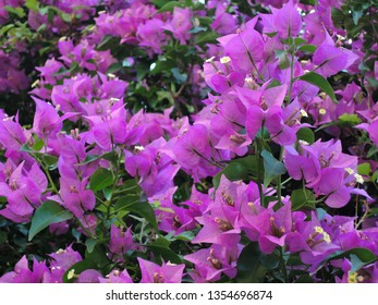 Blooming bougainvillea flowers background. Bougainvillea flowers texture and background. Close-up view Bougainvillea tree with flowers