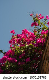 Blooming Bougainvillea flowers on a balcony
