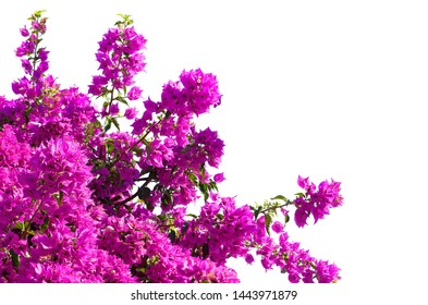 Blooming  Bougainvillea of magenta color  isolated on white background.