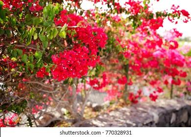 Blooming bougainvillea. Magenta bougainvillea flowers. Bougainvillea flowers as a background. Floral background.