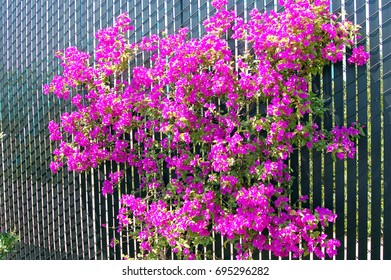Blooming Bougainvillea Plant with bright pink flowers