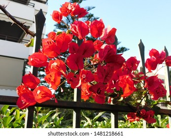 Blooming bougainvillea plant with pink flowers, in Glyfada, Greece