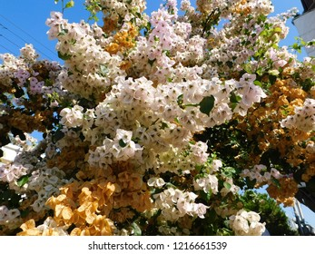 Blooming bougainvillea plants, with white and orange flowers, in Glyfada, Greece