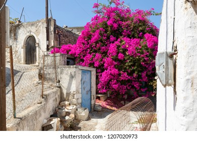 Blooming Bougainvillea in a village in Greece, Europe