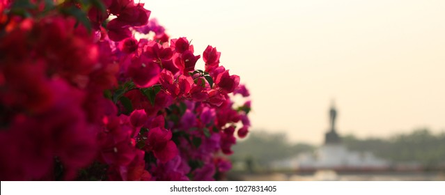 blooming bougainvillea.Magenta bougainvillea flowers. bougainvillea flowers as a background. floral background.