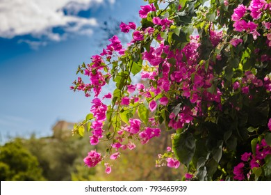 Blooming bougainvillea.Magenta bougainvillea flowers.Bougainvillea flowers as a background.