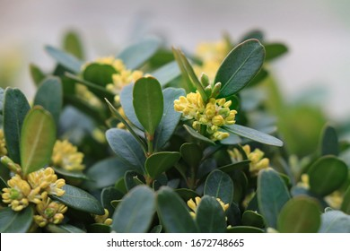 Blooming boxwood. Buxus sempervirens with yellow flowers. Yellow Buxus flowers