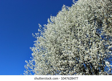 Blooming Bradford Pear Tree Against Blue Sky