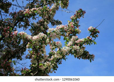 Blooming branch of apple tree on the background of blue sky