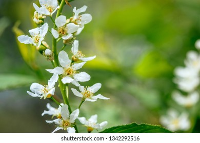 Blooming branch of apple tree over green nature background, spring flowers photography.