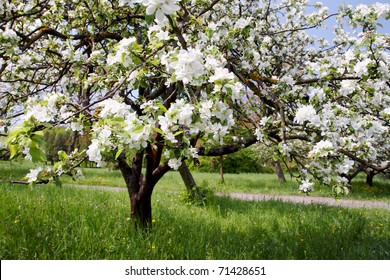 A blooming branch of apple tree in spring