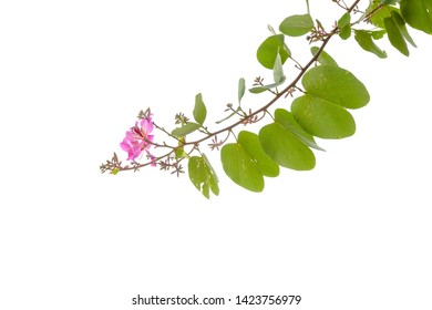 blooming branch of bauhinia tree isolated on the white background