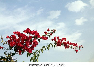 Blooming branch of bougainvillea