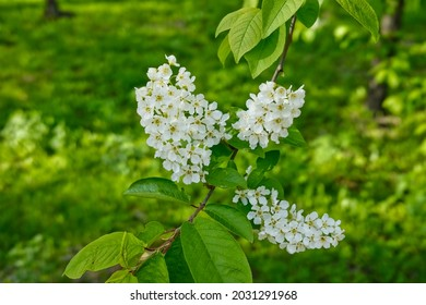 The blooming branch in forest, Krasnoyarsk, Siberia, Russia.