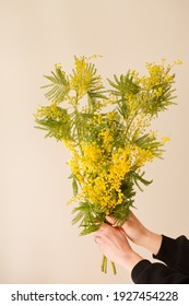 Blooming branch of fragrant spring mimosa in hand