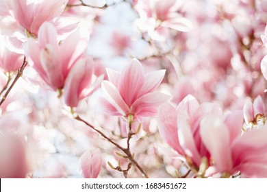 Blooming branch of magnolia tree in spring time. Close up