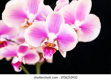 Blooming branch of pink orchid, isolate on black background. Floriculture, home flowers.