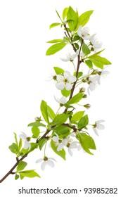 blooming branch of plum tree
