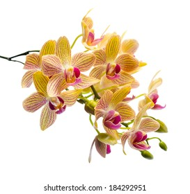 Blooming branch stripped orange orchid, phalaenopsis is isolated on white background