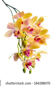 Blooming branch stripped yellow  orchid, phalaenopsis is isolated on white background