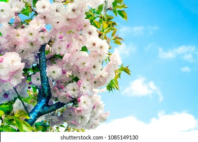 The blooming branch with white lilac flowers on the blue cloudy sky background. Spring summer motive. Ideal background for the greeting cards, illustrations and collages.
