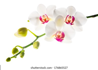 Blooming branch  white with red  orchid is isolated on a white background