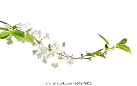 Blooming branch of wild cherry. Isolated on white background.