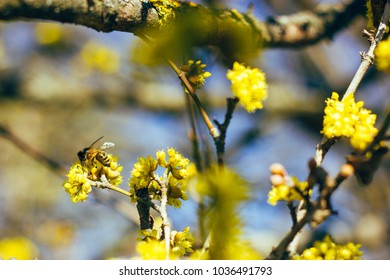 Blooming branches with bee in the spring sunlight