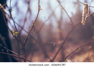 Blooming branches with hanging dry catkin in the spring sunlight