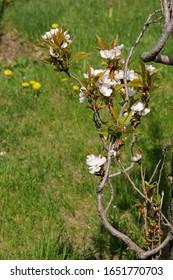 blooming-branches-japanese-cherry-sakura