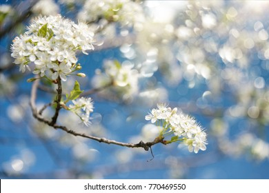 Blooming branches of plum tree in a spring garden against blue sky - selective focus