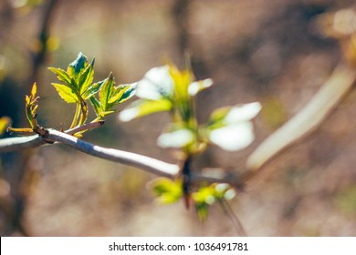 Blooming branches in the spring sunlight