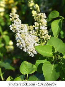 Blooming branches of white lilac. Start flowering.