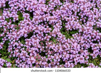 Blooming breckland thyme (Thymus serpyllum). Close-up of pink flowers of wild thyme on stone as a background. Thyme ground cover plant for rock garden.