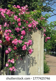 Blooming bright pink wild roses (dog rose, rosa canina, rosehip) flower and green leaves climbing over iron fence and concrete pole on roadside under clear blue sky in spring