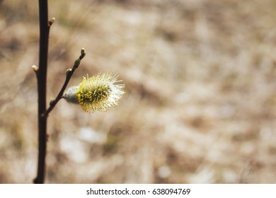 blooming Bud on the tree. Willow branches with buds. Early spring forest blooms with willow tree flowers and bumblebee. Symbol of Easter. Flowering tree in spring.