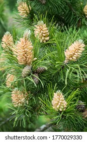 Blooming buds of pine cones and green needles on the branches of a pine tree. Nature background.