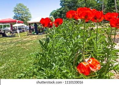A blooming bunch of orange poppies sit in the foreground in front of a community weekend faremers market and craft fair.