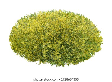Blooming bush with yellow flowers isolated on a white background.