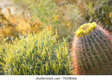 Blooming Cactus in Anza Borrego Desert, California, USA