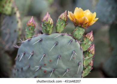 Blooming cactus in Grand Canyon, Arizona, USA
