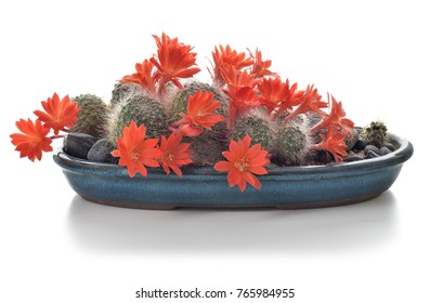 Blooming cactus houseplant isolated on white background. Cactus in flowers in a pot. Composition of succulents.
