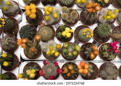 the Blooming cactus on sale in the shop